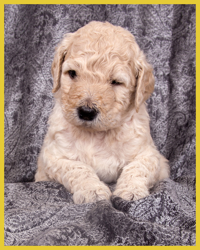 goldendoodles - buffalo  and western new york